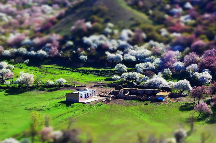 تصاویر زیبا از شکوفه های زردآلود فصل بهار در شمال چین