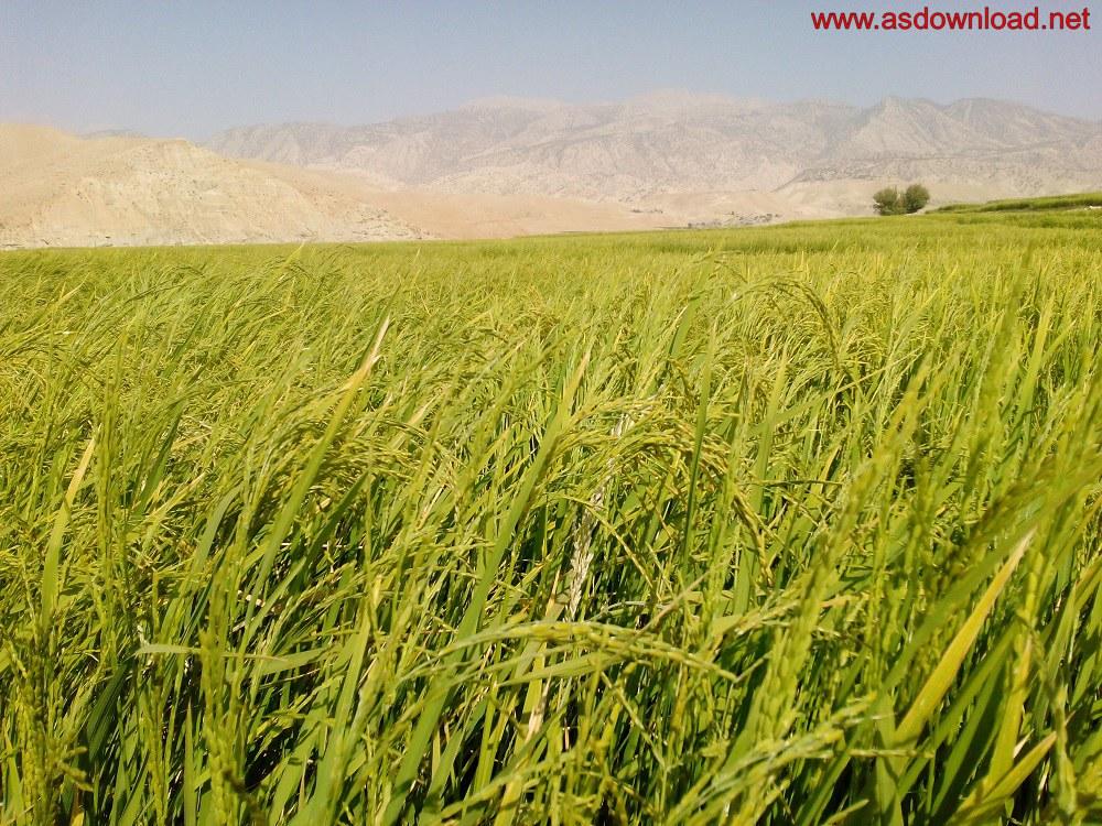 baghmalek-rice-fields-10