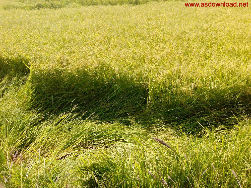 baghmalek-rice-fields-14