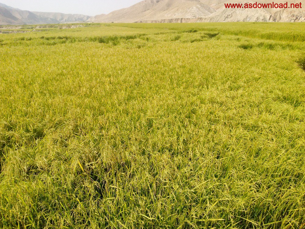 baghmalek-rice-fields-3