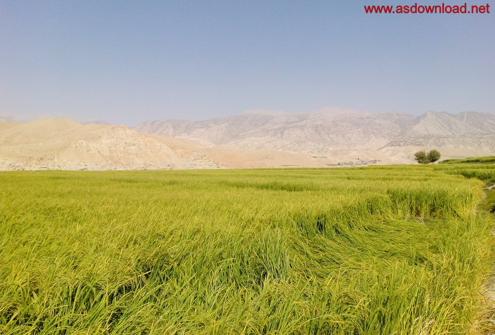 baghmalek-rice-fields-9