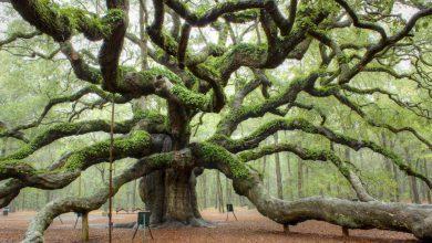 Photo of زیباترین و معروفترین درختان در جهان+عکسhd
