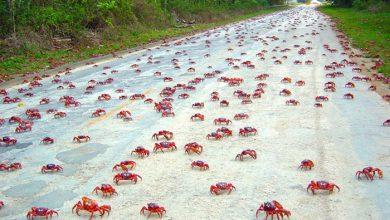Photo of مهاجرت سالیانهی خرچنگهای قرمز در جزیرهی کریسمس-یکی از عجایب دیدنی جهان