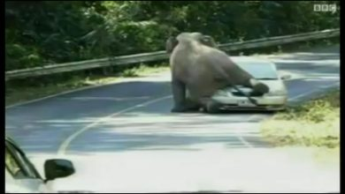 Photo of فیل وحشی با حلمه به یک خودرو آن را له کرد!