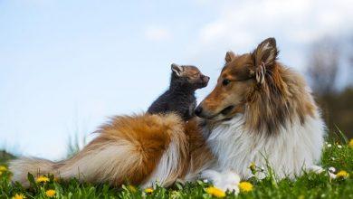Photo of دوستی بچه روباه با سگ گله ای پس از مردن مادرش