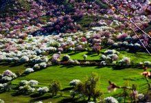 Photo of تصاویر زیبا از شکوفه های زردآلود فصل بهار در شمال چین