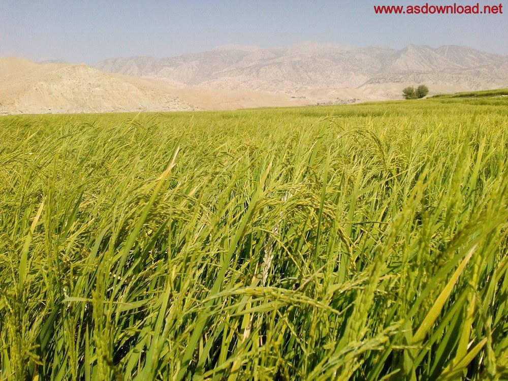 baghmalek-rice-fields-10