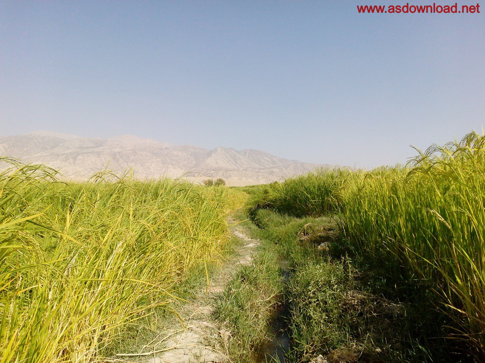 baghmalek-rice-fields-13