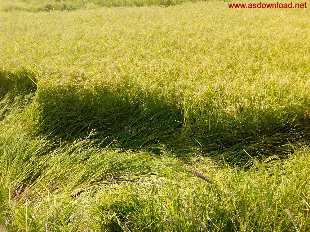 baghmalek-rice-fields-14