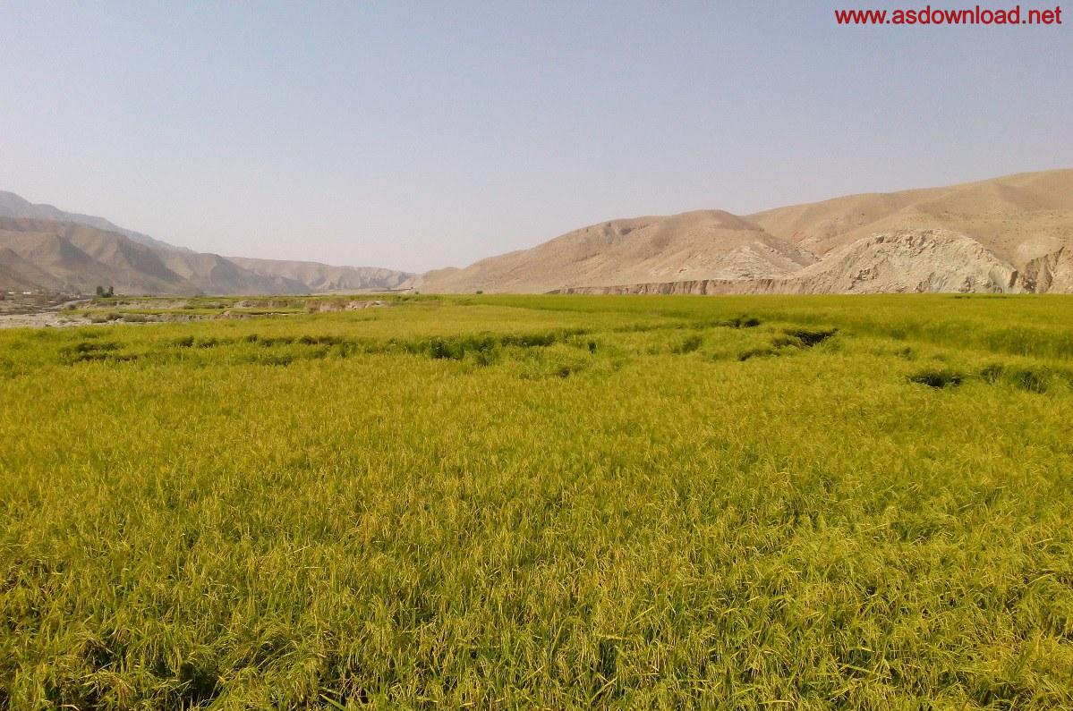 baghmalek-rice-fields-2