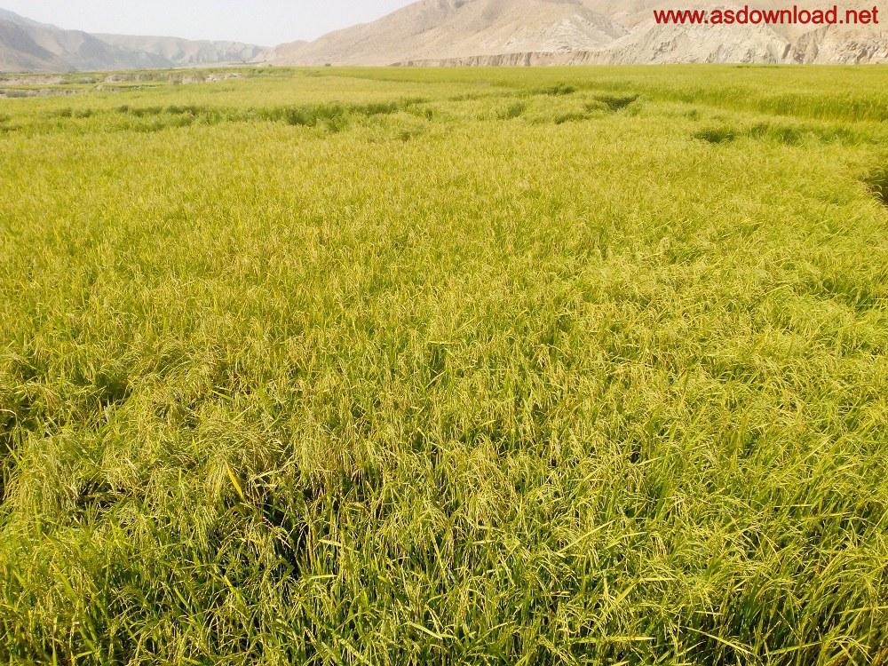 baghmalek-rice-fields-3