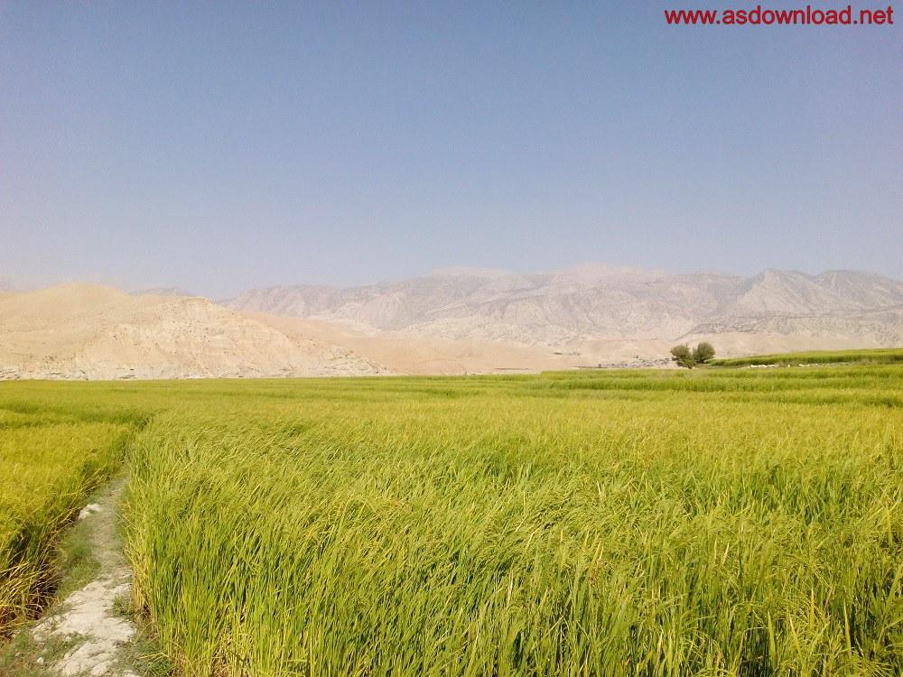 baghmalek-rice-fields-4