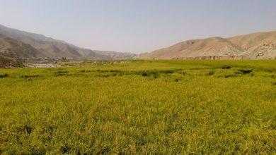 Photo of تصاویر مزارغ برنج کاری فوق العاده زیبای باغملک – جاذبه های گردشگری خوزستان