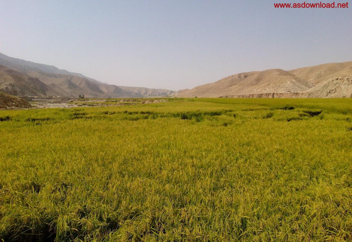 baghmalek-rice-fields-5