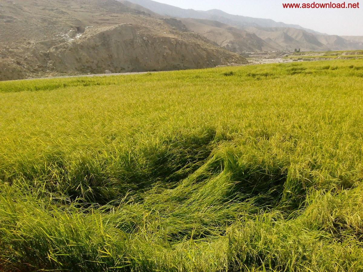 baghmalek-rice-fields-6