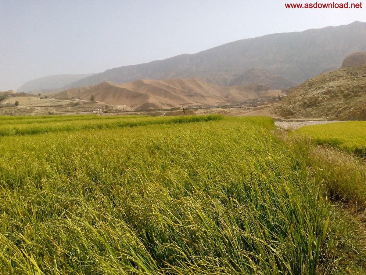baghmalek-rice-fields-7