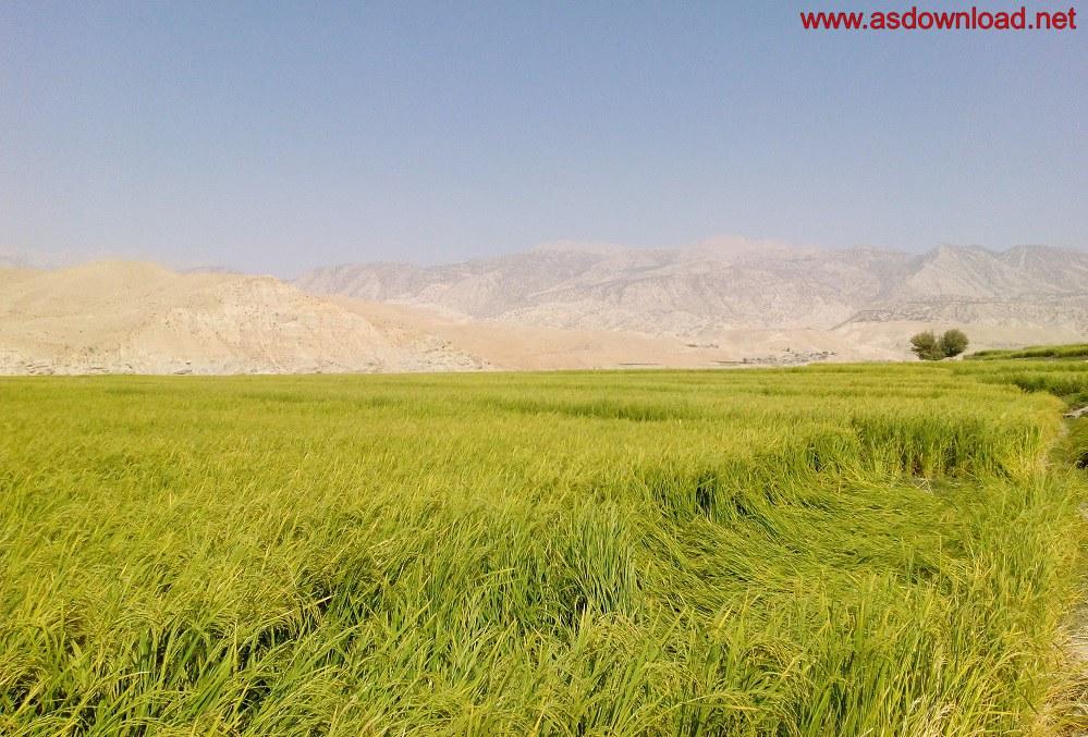 baghmalek-rice-fields-9