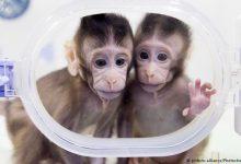Photo of رونمایی از نخستین میمون شبیه سازی شده و بدون والدین در چین