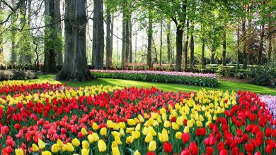 Photo of آمستردام هلند شهر لاله ها، آسیاب های بادی و رنگ ها