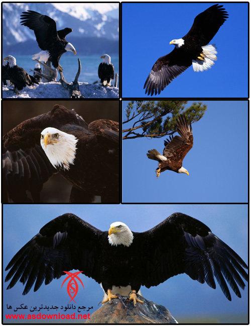 دانلود عکس عقاب-گالری عکس