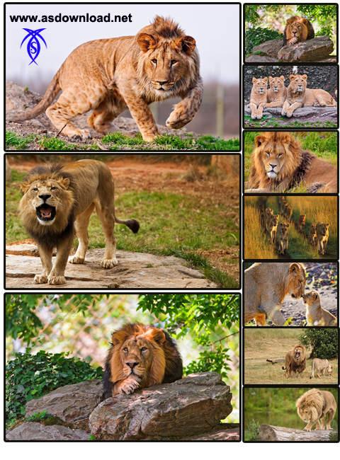 دانلود عکس شیر جنگلی-عکس حیوانات