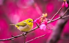 yellow bird springtime wallpaper