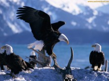eagle wallpaper hd (13)