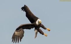 eagle wallpaper hd (26)