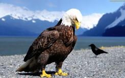 eagle wallpaper hd (3)