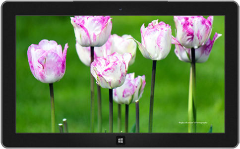 Lovely Tulips theme windows 8, 8.1-دانلود تم لاله های دوست داشتنی برای ویندوز
