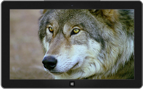 Wolves theme windows-دانلود تم گرگ ها برای ویندوز 8