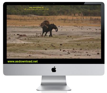 دانلود کلیپ مستند شکار فیل توسط شیر