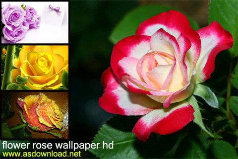 آلبوم عکس گل رز با کیفیت flower rose wallpaper- hd