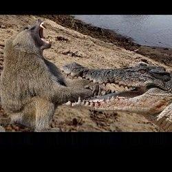 دانلود فیلم مستند نبرد تمساح و میمون ها - محصول نشنال جئوگرافی