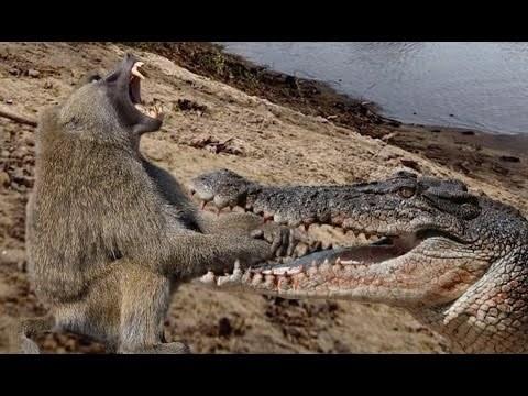 Crocodile vs Baboon Wildlife Animal