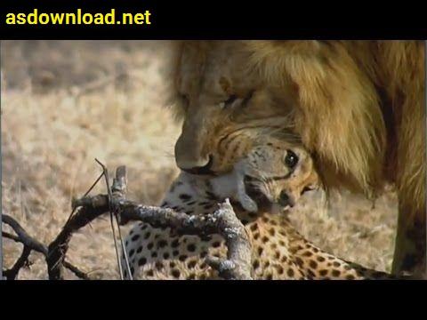 Documentary Lion Vs Cheetah 1