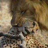 فیلم مستند نبرد شیر در مقابل یوزپلنگ - محصولی از نشنال جئوگرافی