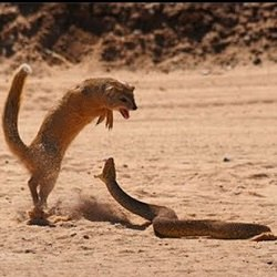 Photo of دانلود فیلم مستند نبرد راسوی هندی و مار کبری
