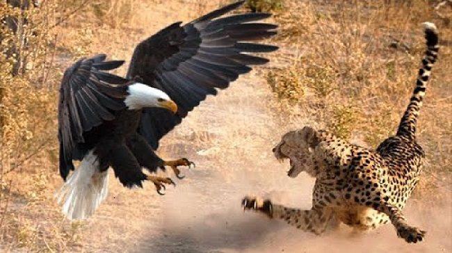 Top 10 Leopard Attacks
