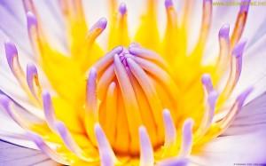 Macro of Waterlily