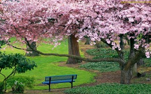 ???? (Park bench with cherry trees)